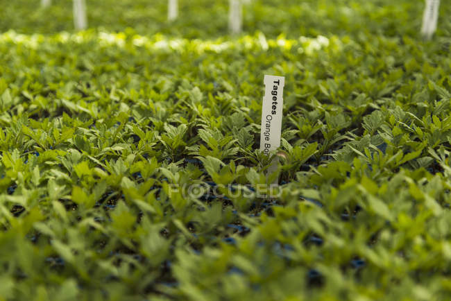 Pots of tagetes in plant nursery — Stock Photo