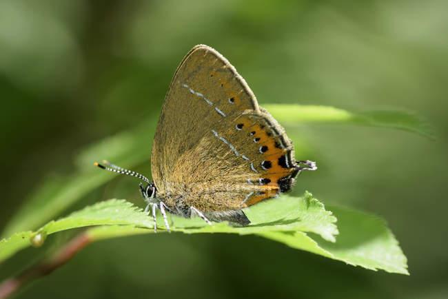 Inglaterra, Black Hairstreak, Satyrium pruni borboleta em folhas de plantas — Fotografia de Stock