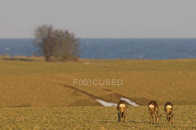 Caprioli sul prato sulla costa — Foto stock