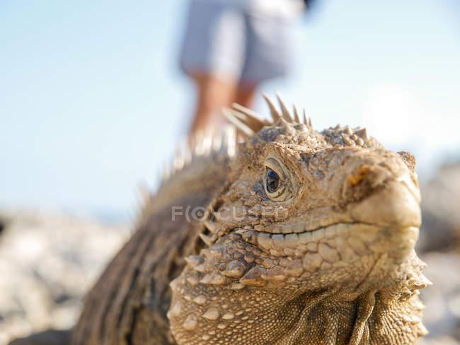 Portrait of Cuban rock iguana, Cuba — Stock Photo