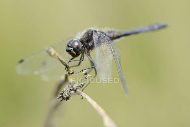 Papillon noir dard, Sympetrum danae, sur avis de plante brindille closeup — Photo de stock