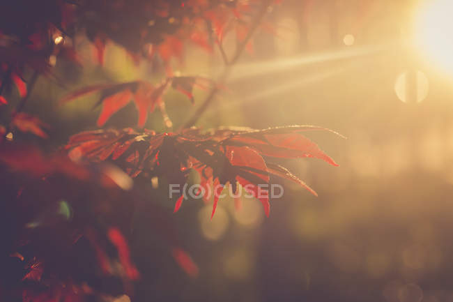 Red maple leaves at evening sunlight — Stock Photo