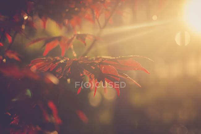 Roter Ahorn blättert in der Abendsonne — Stockfoto