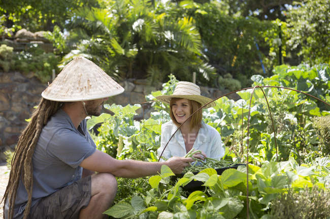 Two gardeners harvesting beans in a garden — Stock Photo