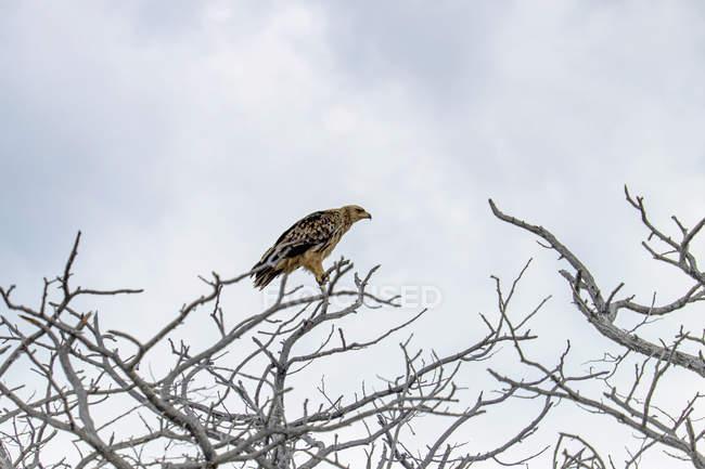 Африка, Намібія, Національний парк Етоша, рудої орел, сидячи на голі дерева — стокове фото