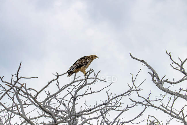 Afrique, Namibie, Parc National d'Etosha, Tawny Eagle assis sur l'arbre nu — Photo de stock