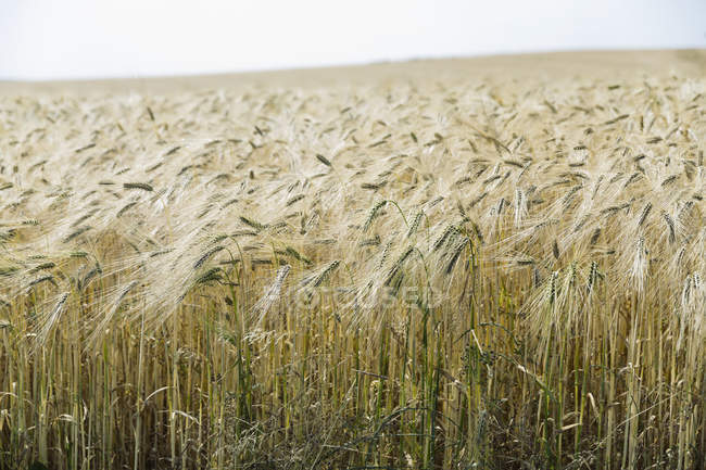 Germany, Lower Saxony, view to rivet wheat field — Stock Photo
