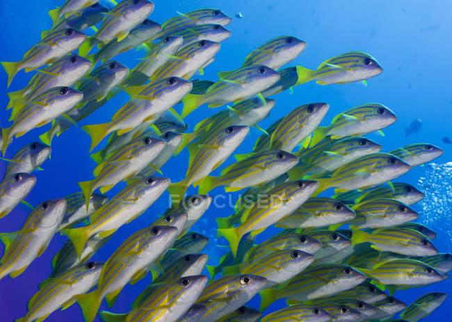 Oceanía, Palaos, Schoal of bluestripe snappers - foto de stock