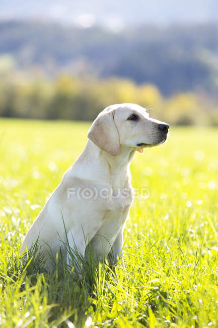 Chiot Labrador Retriever assis sur Prairie — Photo de stock