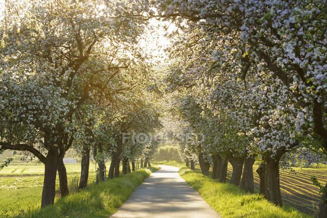 Німеччина, Баварія, Верхня Франконія, Байкуей, проспект з квітучими яблуні — стокове фото