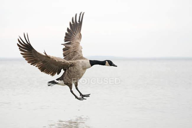 Канада гусь, посадка на воде с раскрытыми крыльями — стоковое фото