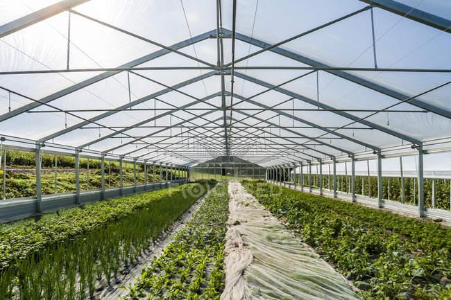 Germany, Organic herbs and kohlrabi growing in greenhouse — Stock Photo