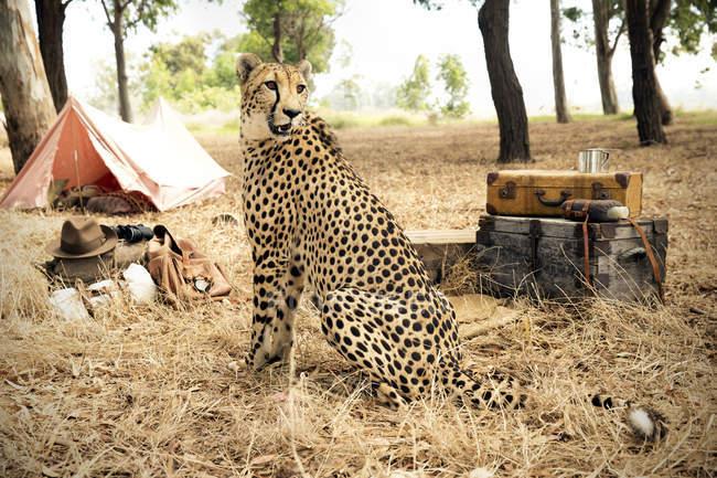 Cheetah no prado com malas e tenda, África do Sul — Fotografia de Stock