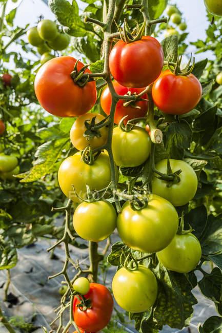 Крупним планом зеленого і червоного органічних помідори вирощування у парникових — стокове фото