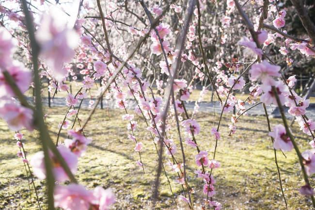 Японія, Kyoto, гілочки квітучій Сливова дерева в сонячному світлі — стокове фото
