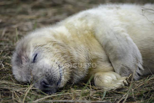 Молодой серый тюлень лежал на лугу днем — стоковое фото