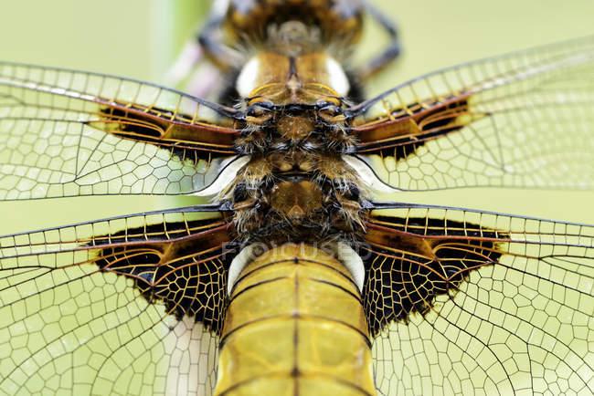 Стрекоза, Libellula Депресса, крупным планом повышенных вид стрекоза — стоковое фото