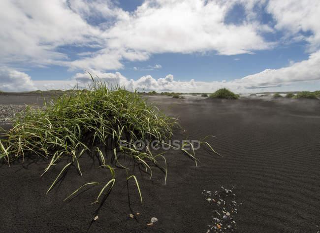 Ісландія, на південь від Ісландії, поблизу Stokksnes, піщаній дюні, чорний пісок і трав — стокове фото