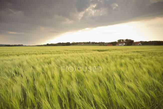 Germania, Bassa Sassonia, vista al campo di orzo durante il giorno — Foto stock