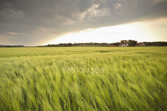 Germany, Lower Saxony, view to barley field at daytime — Stock Photo