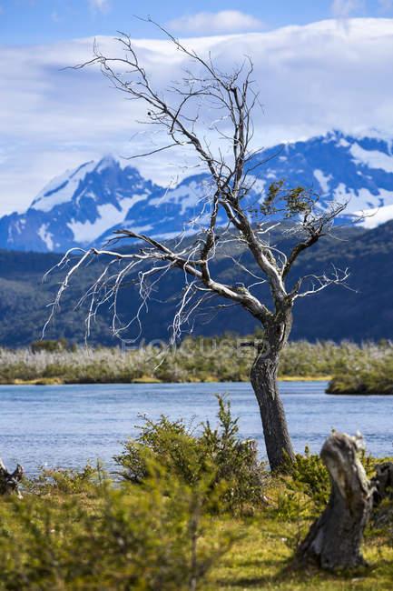 Árvore morta de Chile, Parque Nacional Torres del Paine, no Rio Paine — Fotografia de Stock