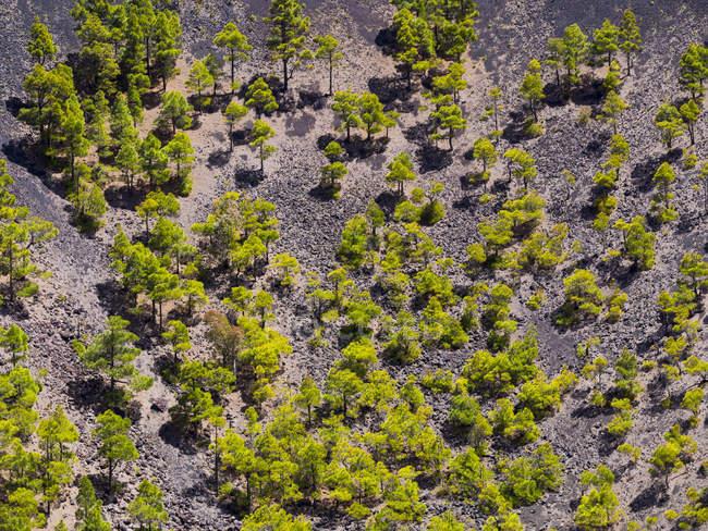 Spagna, Isole Canarie, La Palma, Fuencaliente, Canary Island Pines, Pinus canariensis, crescendo nel cratere San Antonio — Foto stock