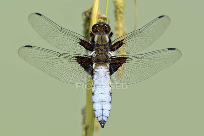 Стрекоза, Libellula Депресса, стрекоза повышенных вид — стоковое фото