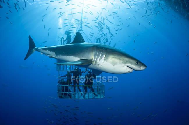 Мексика, Гуадалупе, Тихий океан, аквалангистов акул клетке с белой акулы, Carcharodon carcharias, на переднем плане — стоковое фото