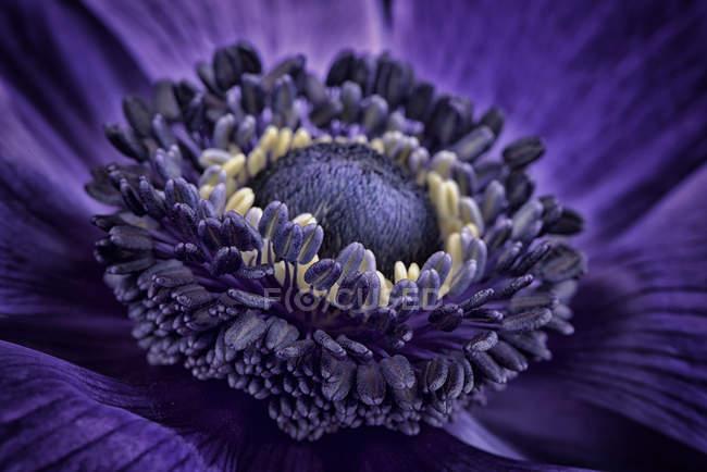 Detalhe de anêmona violeta, quadro completo — Fotografia de Stock