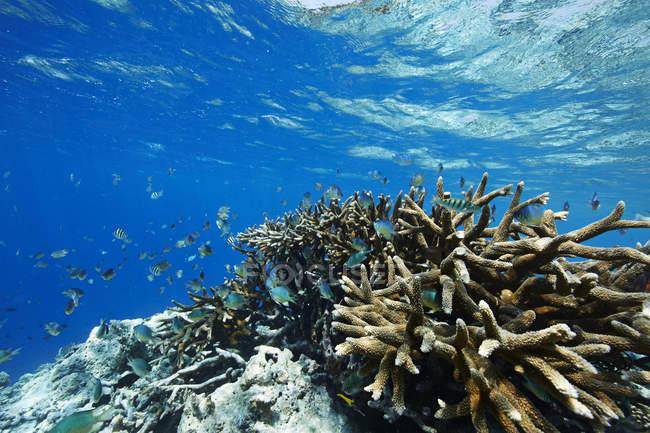 Malediven, Korallen und Fische im Indischen Ozean — Stockfoto