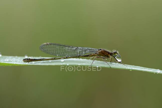 Damselfly Libelle auf Pflanzenblattes mit Tautropfen, Seitenansicht — Stockfoto