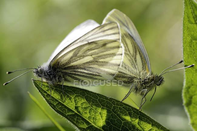 Verde veteado blanco mariposa, Pieris napi, sentada en flor - foto de stock