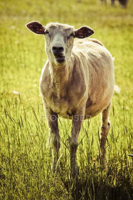 Tranciate pecore sul prato durante il giorno — Foto stock
