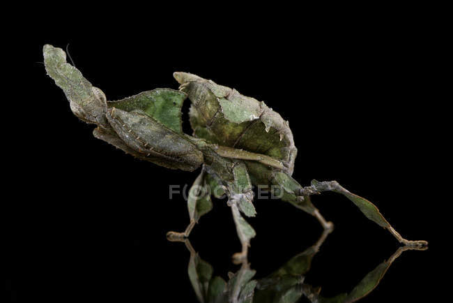 Ghost Mantis, Phyllocrania paradoxa, with reflection on black ground — Stock Photo