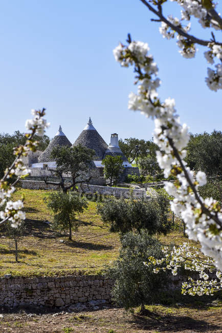 Região de Itália, Apúlia, Alberobello, trulli tradicional, redondo pedras cabanas sob árvores floridas — Fotografia de Stock