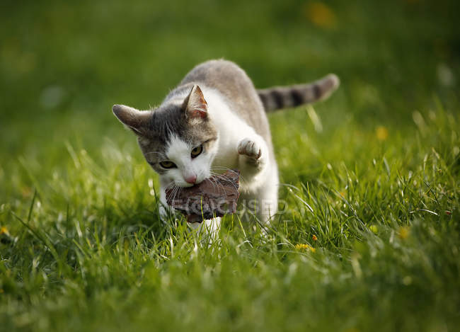 Grey white tabby cat standing on meadow and playing with wood — Stock Photo