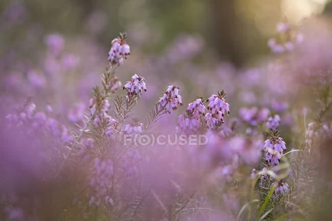 Germany, Bavaria, winter flowering heather, Erica carnea — Stock Photo