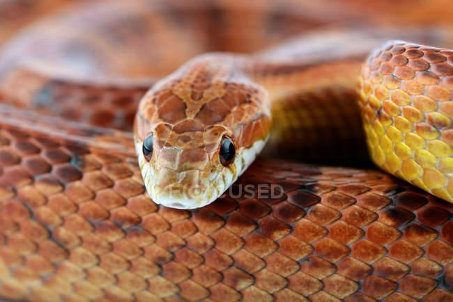 Closeup retrato de cobra do milho à luz do dia — Fotografia de Stock