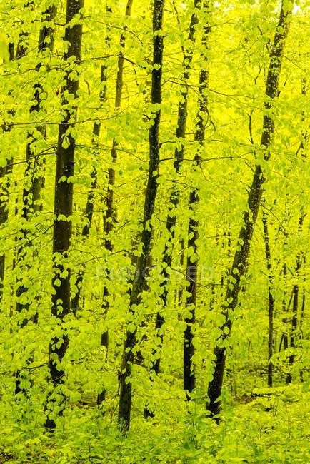 Germania, Baden-Wuerttemberg, Alb di Swabian, foresta del faggio a primavera — Foto stock