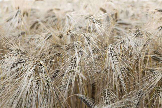 Spikes de trigo rebite no campo, vista close-up — Fotografia de Stock