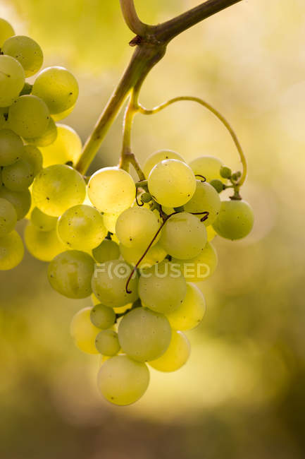 Close-up of ripe green grape growing on plant — Stock Photo