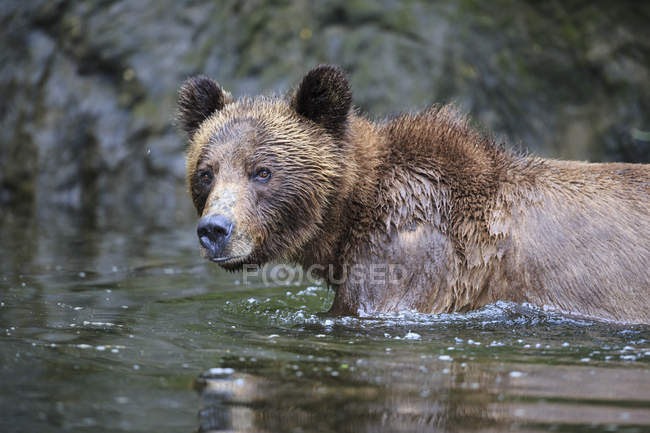 Female grizzly bathing in lake looking at camera — Stock Photo