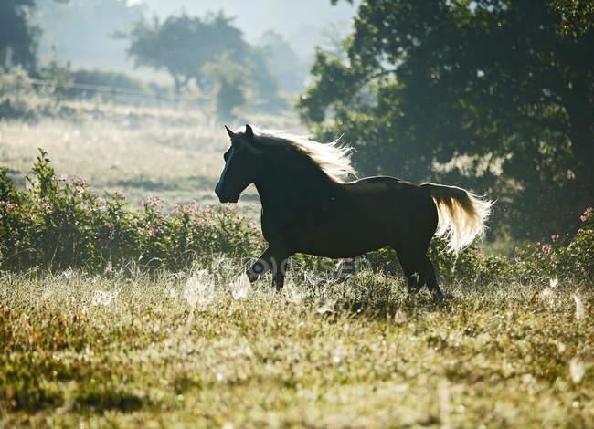 Cavalo da floresta negra em contraluz em verdes pastagens, Allensbach, estado de Baden-Wrttemberg, Alemanha — Fotografia de Stock