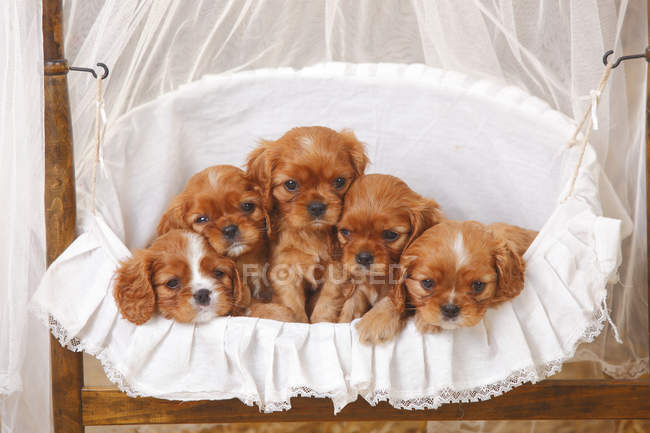 Cavalier King Charles Spaniel puppies lying in basket with fabric — Stock Photo