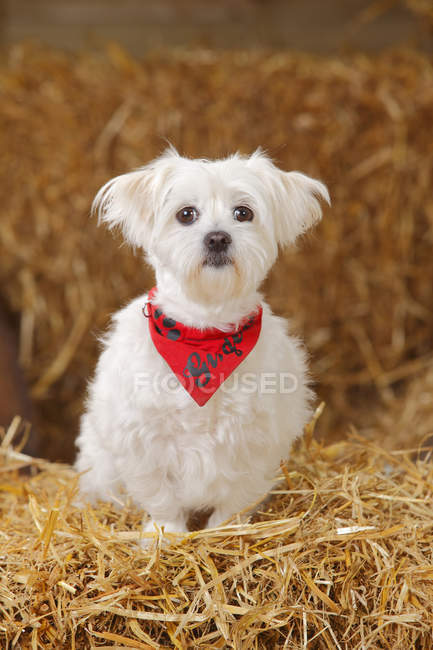 Maltese with red bandana sitting at hay in barn — Stock Photo
