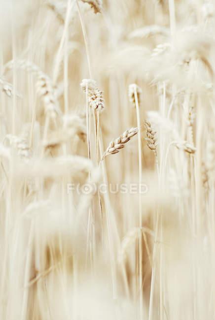 Пшеничные поля зрения крупным планом — стоковое фото