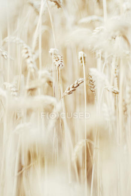 Wheat field closeup view — Stock Photo
