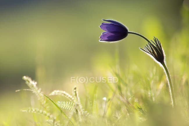 Pulsatilla vulgaris flor sobre fondo borroso - foto de stock