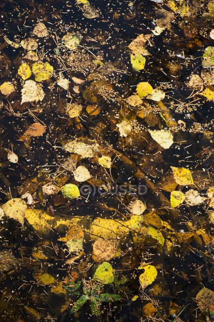 Березы листья и хвоя, плавающей на Тарн — стоковое фото
