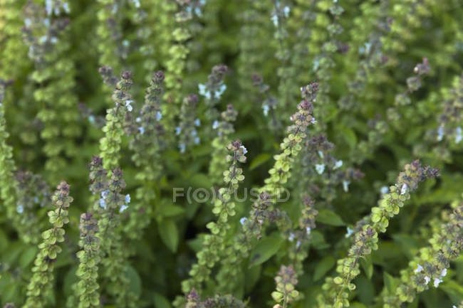 Botanical garden, Hoary basil, close up — Stock Photo